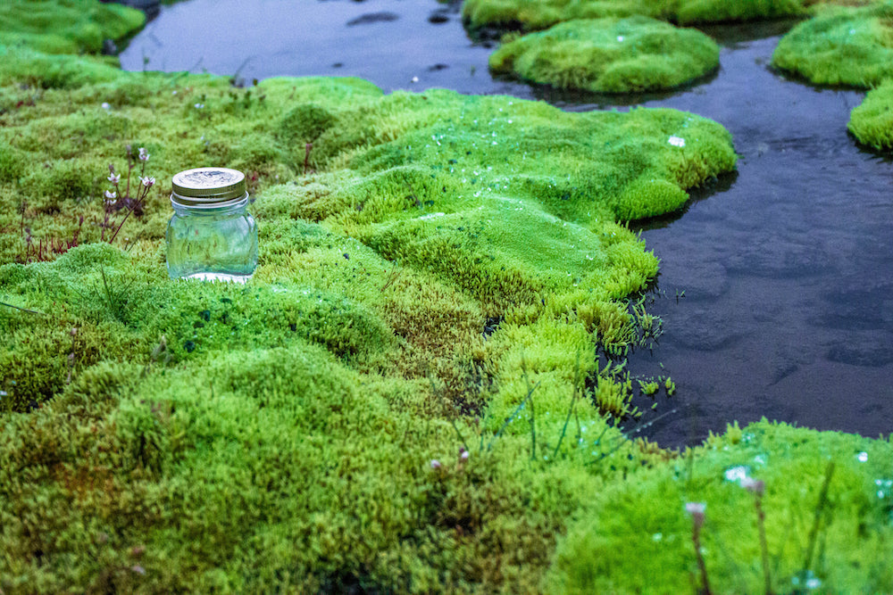 Iceland Fountain Moss flower essence LOTUSWEI flower essences