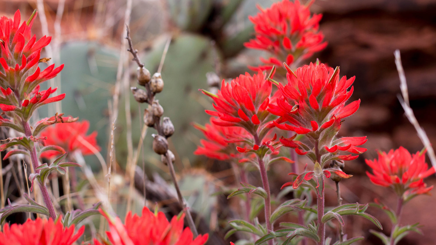 Indian Paintbrush Sedona LOTUSWEI flower essences