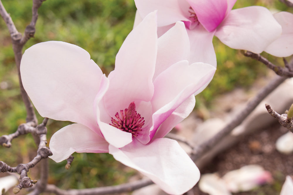 Pink Magnolia LOTUSWEI flower essences