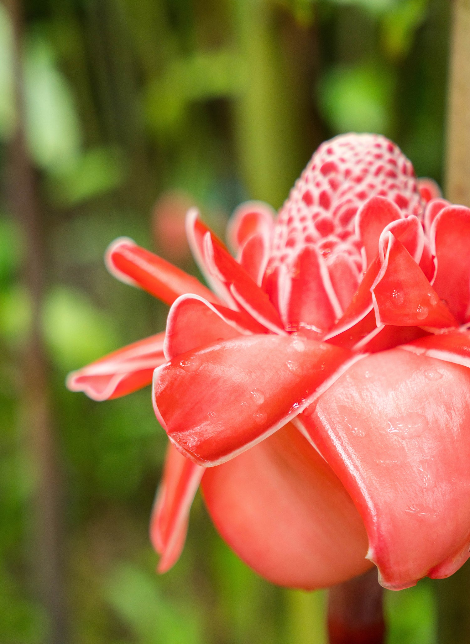 Pink Torch Ginger Flower Singapore LOTUSWEI flower essences
