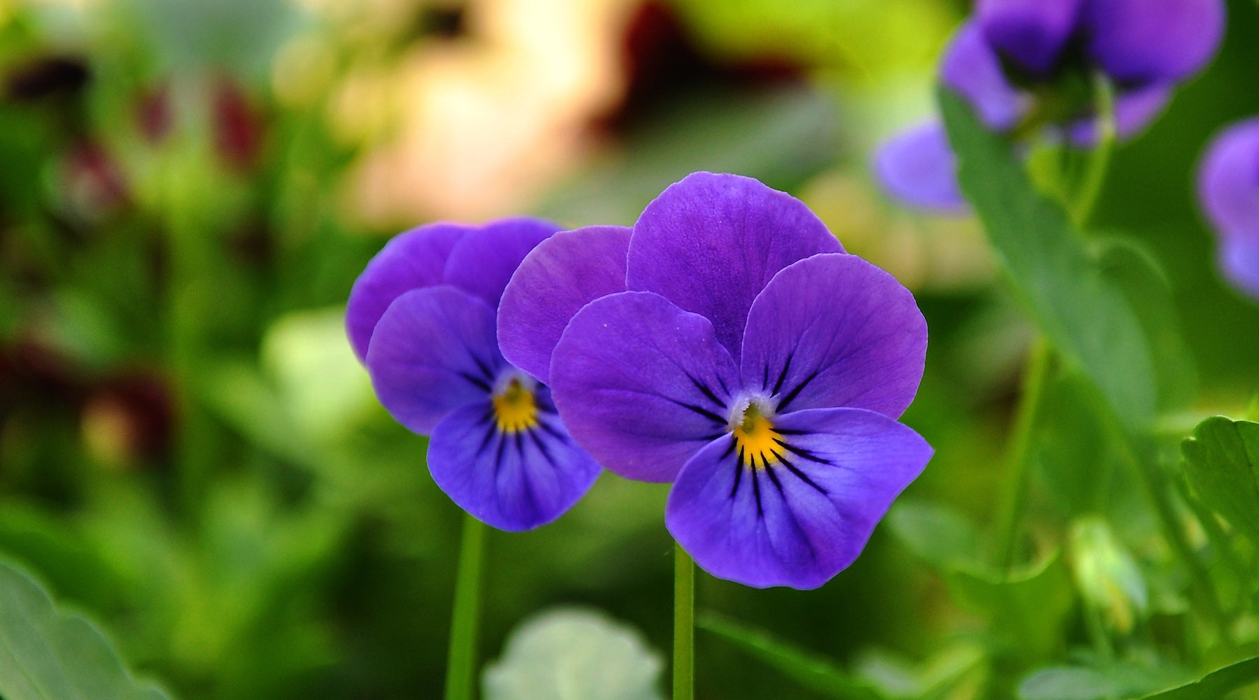Wild Pansy Iceland LOTUSWEI flower essences