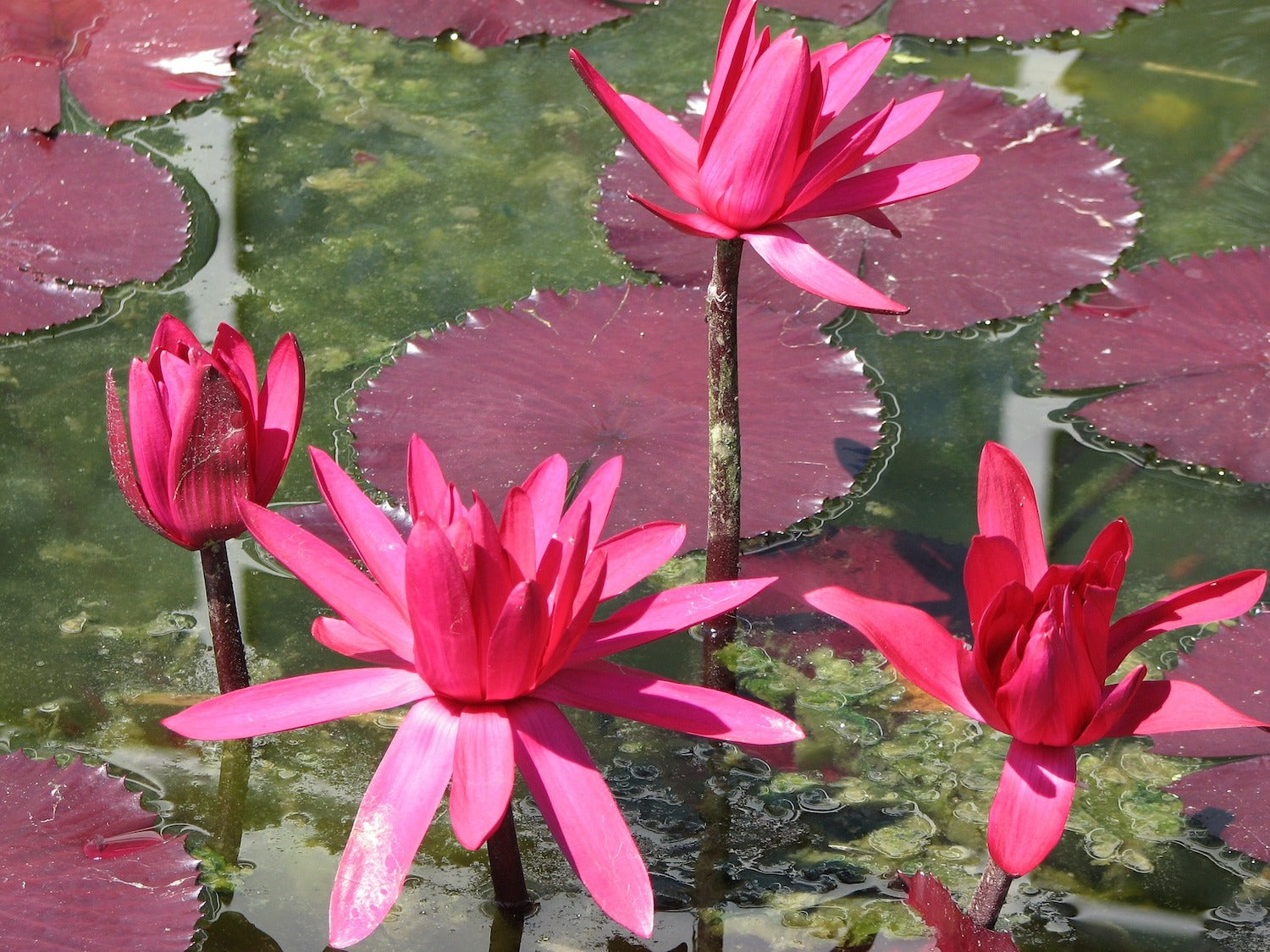 Red Cup Water Lilies LOTUSWEI flower essences