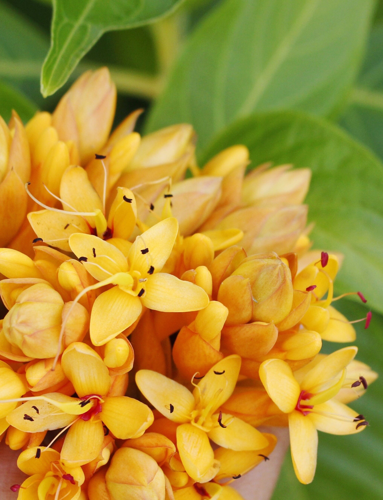 Saraca LOTUSWEI flower essences