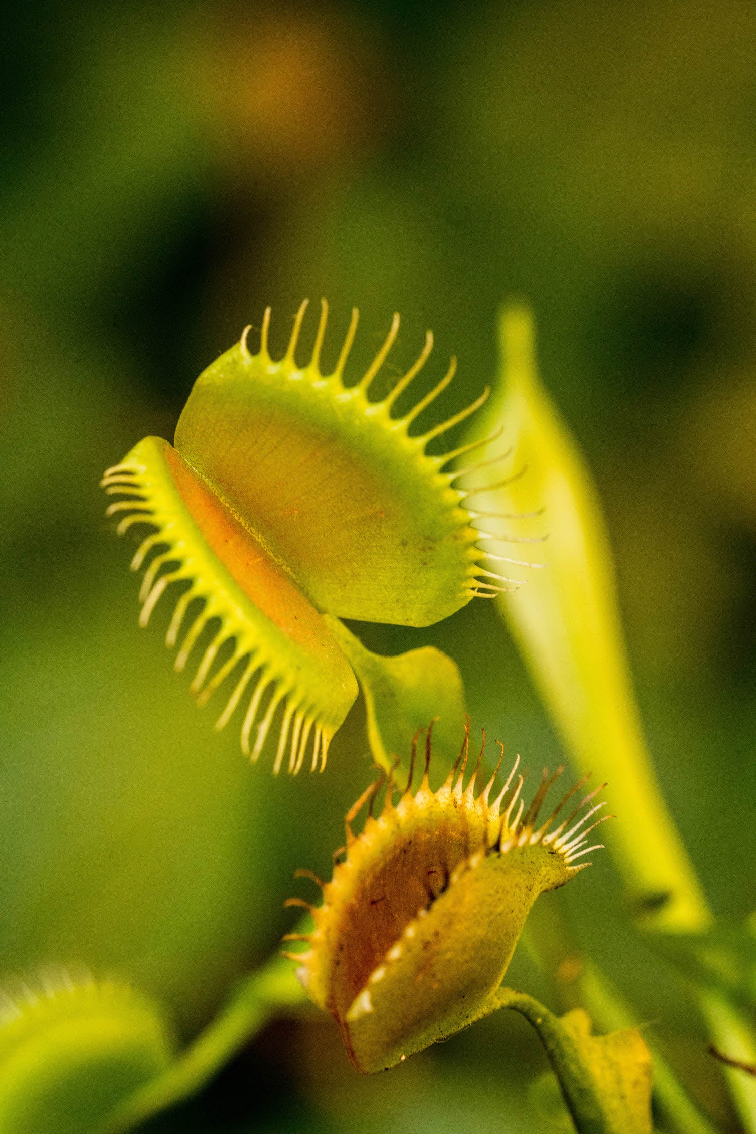 venus flytrap lotuswei flower essences