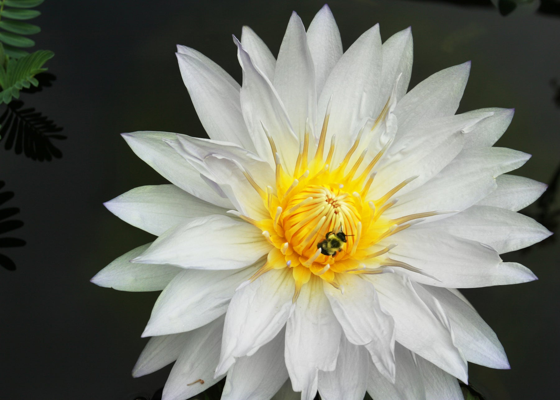 White water lily sharpened senses acuity of vision synchronicity white water lily lotuswei flower essences izmirmasajfo Choice Image
