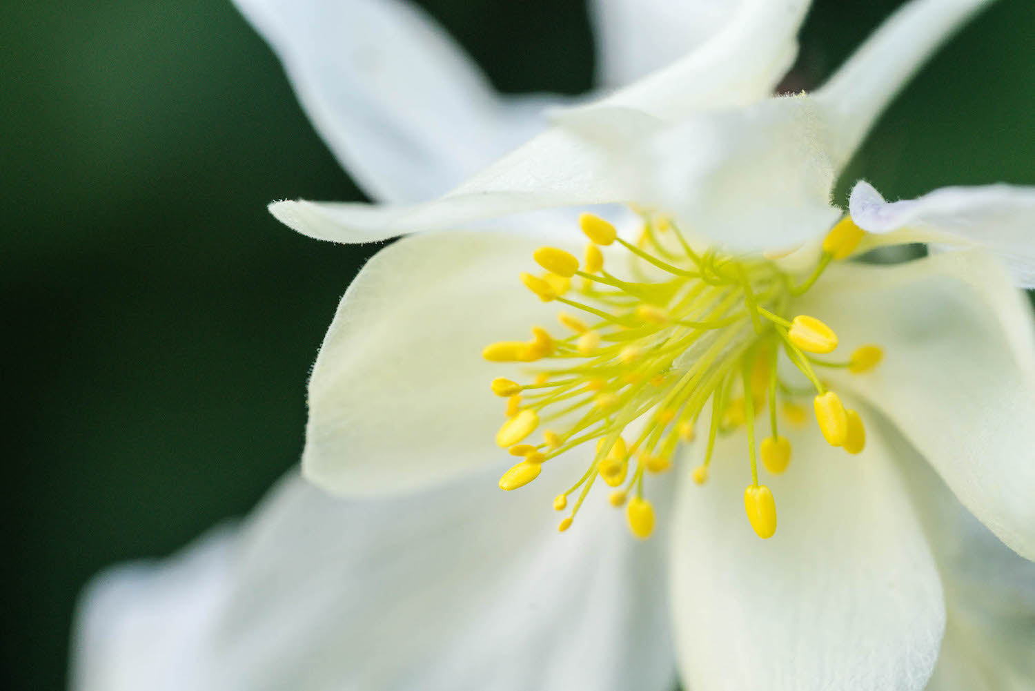 White Columbine close up LOTUSWEI flower essences