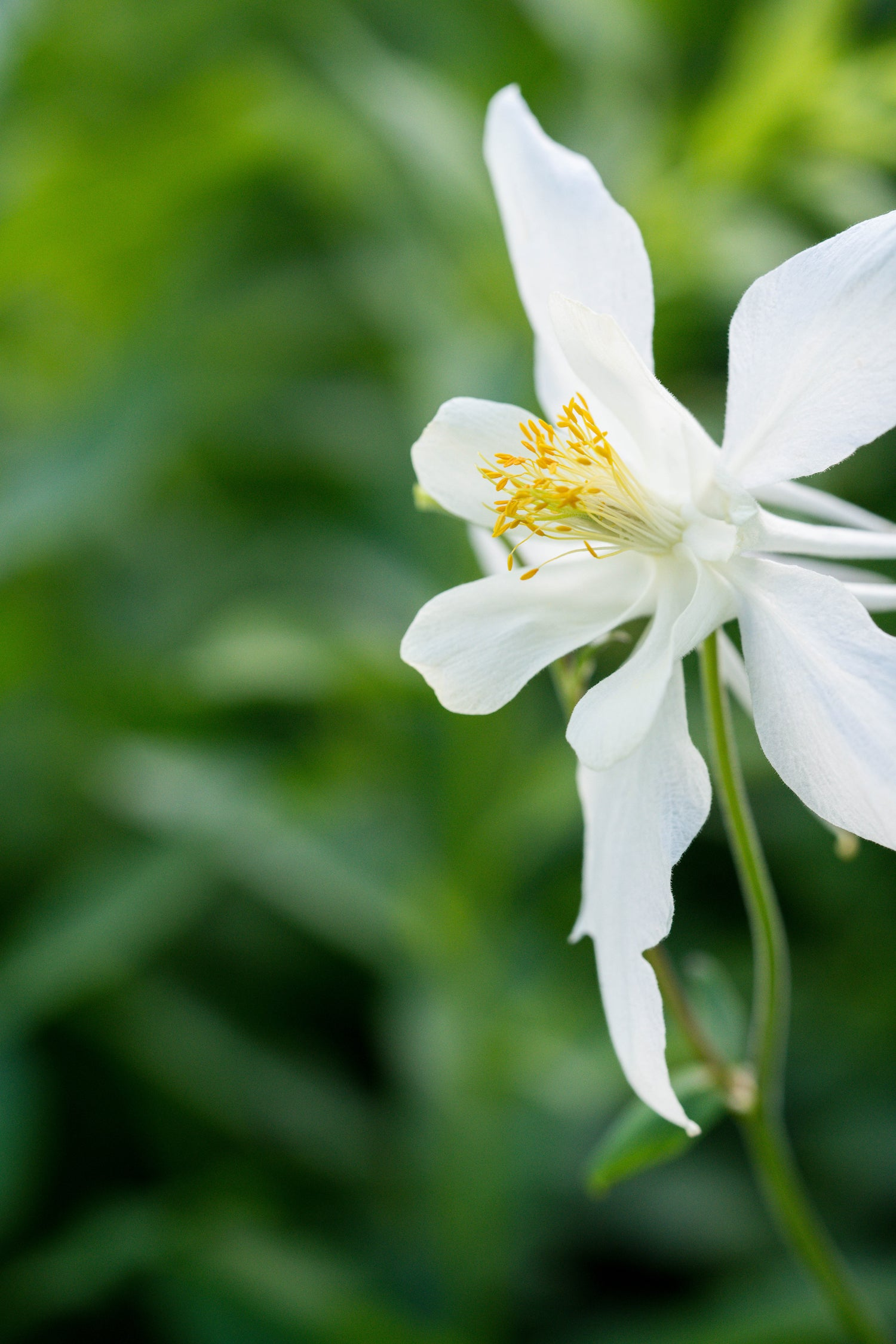 White columbine divine feminine elegance godmotherly love lotuswei white columbine flower essence lotuswei flower essences izmirmasajfo