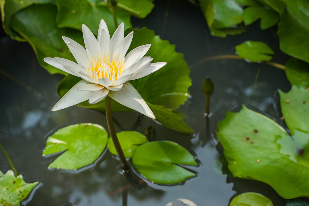 White Water Lily LOTUSWEI flower essences