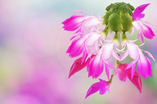christmas holiday cactus LOTUSWEI flower essences