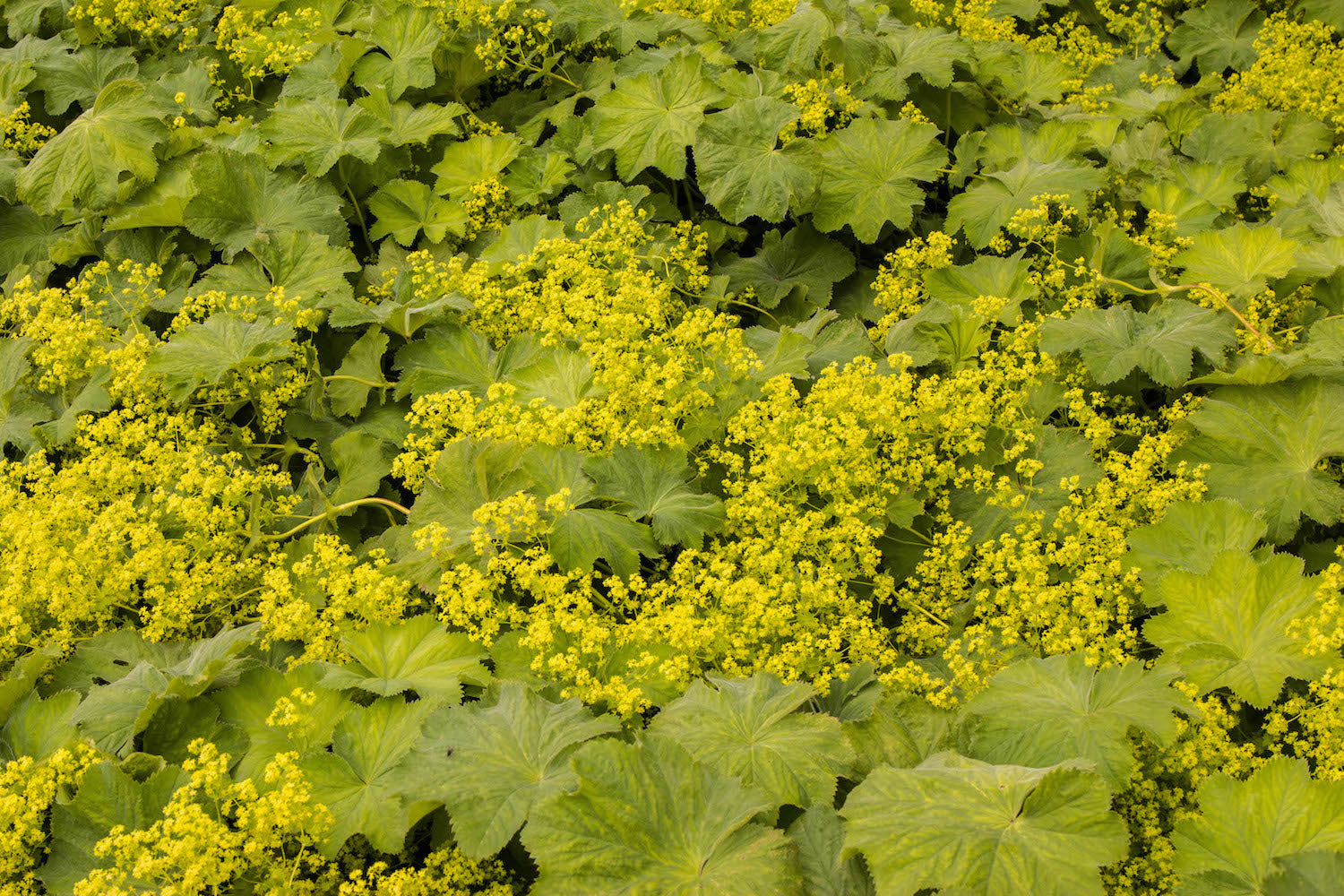 Lady's Mantle LOTUSWEI flower essences