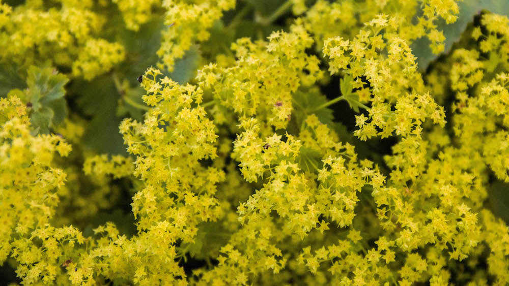 Lady's Mantle LOTUSWEI flower essences Iceland
