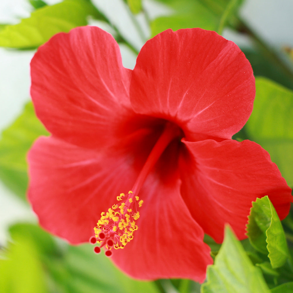 red hibiscus LOTUSWEI flower essences