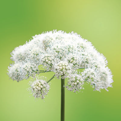 angelica flower card LOTUSWEI flower essences