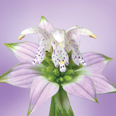 Spotted Bee Balm flower essence LOTUSWEI flower essences