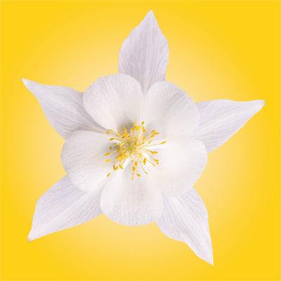 White Columbine Flower Essence Elixir Lotuswei