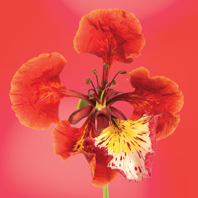 Royal Poinciana flower essence LOTUSWEI flower essences