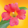 Trumpet Vine flower essence LOTUSWEI flower essences