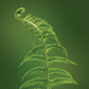 eagle fern essence LOTUSWEI flower essences