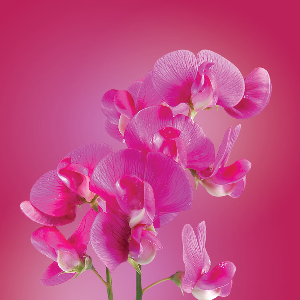 Sweet Pea Flower Essence Elixir Lotuswei