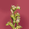 frog orchid flower card LOTUSWEI flower essences