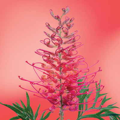 Grevillea flower essence LOTUSWEI flower essences