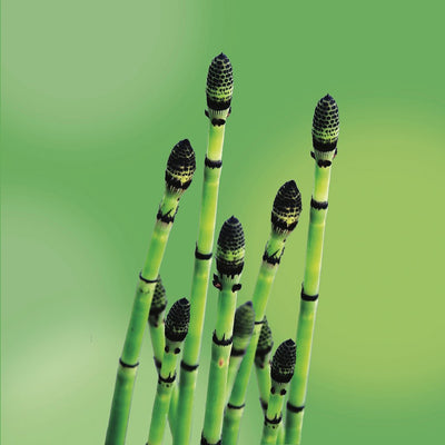 horsetail LOTUSWEI flower essences