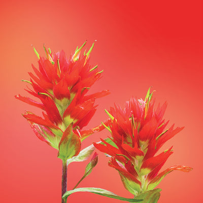 indian paintbrush flower card LOTUSWEI flower essences