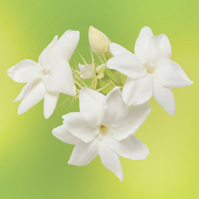 jasmine flower essence LOTUSWEI flower essences