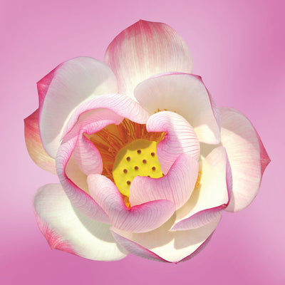 lotus flower essence