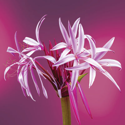 giant spider lily LOTUSWEI flower essences