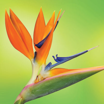 bird of paradise flower essence