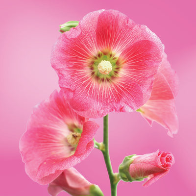 hollyhock flower essence