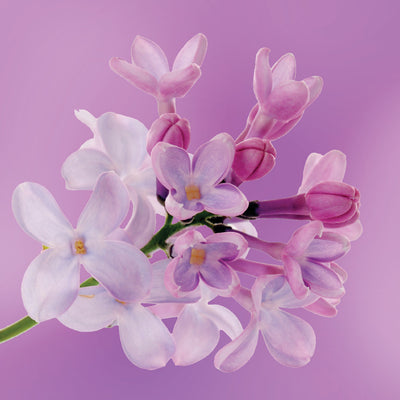lilac flower essence LOTUSWEI flower essences