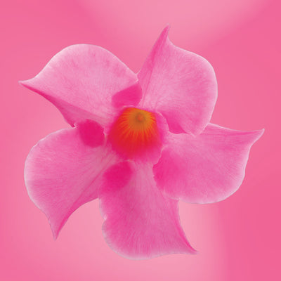Mandevilla flower essence LOTUSWEI flower essences