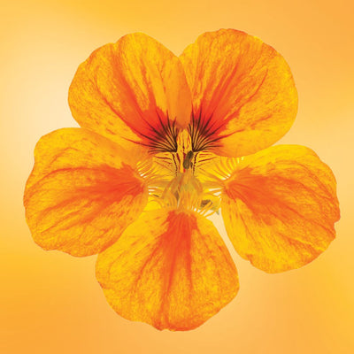 Nasturtium flower essence LOTUSWEI flower essences