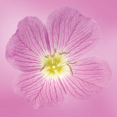 Pink Primrose flower essence LOTUSWEI flower essences
