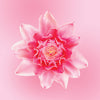 pink torch ginger flower card LOTUSWEI flower essences
