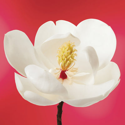 White Magnolia flower essence LOTUSWEI flower essences