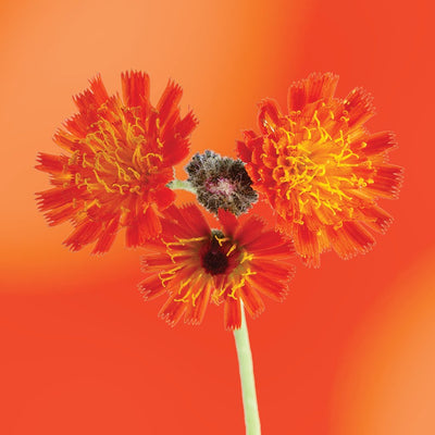 Orange Hawkweed flower essence LOTUSWEI flower essences