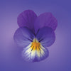 wild pansy flower card LOTUSWEI flower essences