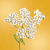 yarrow flower essence LOTUSWEI flower essences