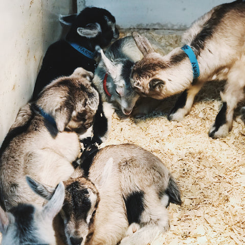 Baby goats in a pen.