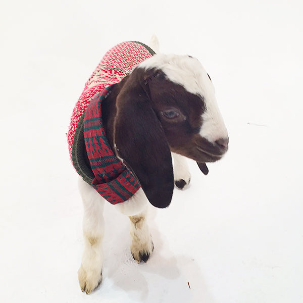 Baby Goats In Holiday Sweaters Beekman 1802