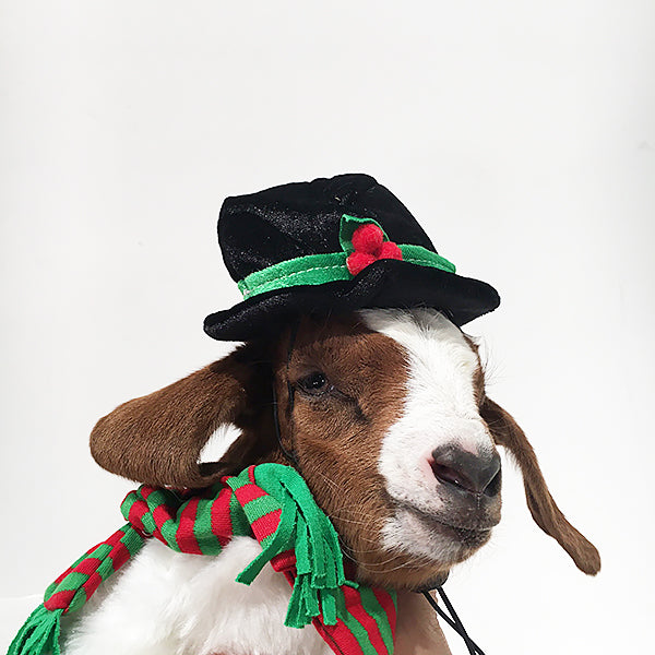 Baby Goats In Holiday Sweaters Ecommerce Beekman 1802