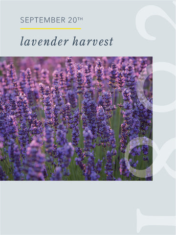 The Lavender Harvest at Slate Hill Flower Farm - 9/20/20