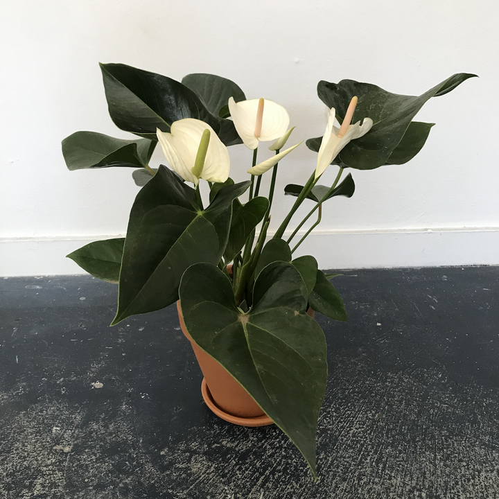 White Anthurium 8 Inch