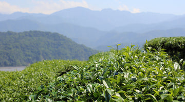 What is High Mountain Tea?