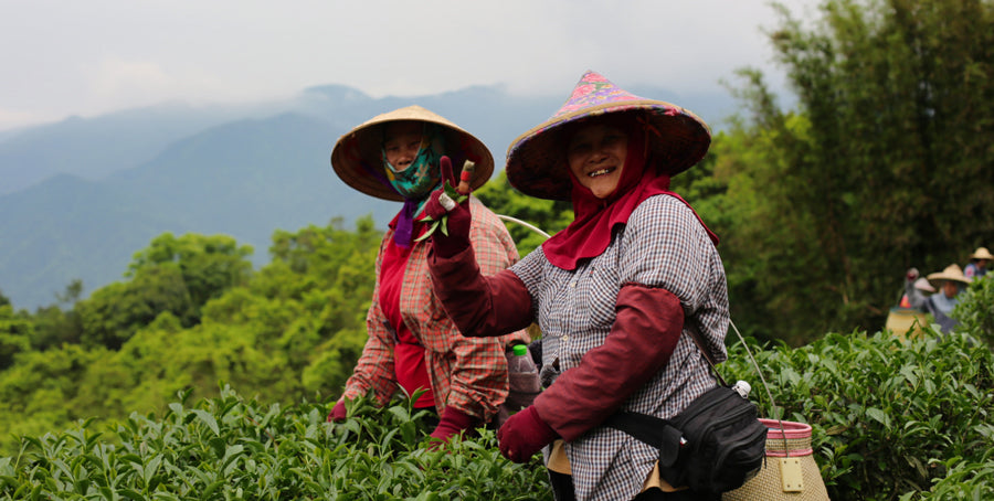 ladies picking tea taiwan