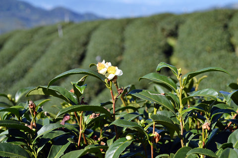 what is tea plant