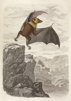 Madagascan Flying Fox. Natural history illustration. Fine Art Print